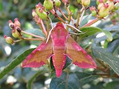 Deilephila porcellus (Lepsibu) Tags: sphingidae