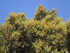 Stein-Eiche im Torrent de Na Borges, Mallorca, NGIDn1854787588 (naturgucker.de) Tags: quercusilex steineiche naturguckerde cwolfgangkatz 1038097865 409271081 1039742319 ngidn1854787588