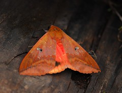Noctuid Moth (Prairie_Wolf) Tags: travel thailand photography asia seasia southeastasia moth doiinthanon travelphotography thyashonesta noctuidmoth rachelmackay