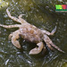 Unidentified crab