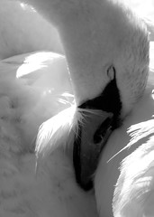 Mute Swan Sleeping (sammo371) Tags: swan muteswan sunsetlake invasivespecies kalamazoocounty vicksburgmichigan lakelife swancontortion muteswansleeping