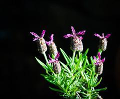 Black is Back. (Omygodtom) Tags: park black flower macro green art nature oregon nikon purple pdx wildflower tamron90mm naturelovers simpleflowers d7000 urbunnature