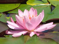 Pink Water-Lily (RonG58) Tags: pictures new trip travel flowers light plants usa plant flower color macro nature geotagged botanical photography us photo spring day waterlily lily image photos live maine picture images photograph hana digitalcamera wildflowers exploration hindi sanskrit bengali photooftheday picoftheday boothbay floweringplant waterplant pinkwaterlily greatphotographers fugifilm coastalmainebotanicalgardens flickrflorescloseupmacros mainewildflowers nymphaeapubescens hairywaterlily rong58 finepixhs50exr