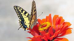 Schwalbenschwanz- swallowtail- Papilio machaon (Marlis1) Tags: butterfly insects lepidoptera insekten schmetterling papiliomachaon marlis1 papallonarei tortosacataluñaespaña canong15