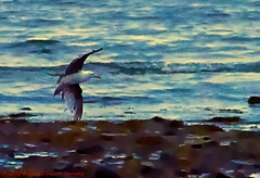Morning Flight (Wil Elliott Images) Tags: seagulls seascape nature photoart longislandsound milfordct tamron18200mmf3563 gulfbeach nikond7000 topazclarity topazclean3 topazrestyle