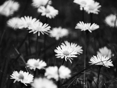 Sad Chamomile (Moustafa Kzaiha) Tags: travel flowers friends roses blackandwhite bw white black blur macro berlin nature colors grass germany sadness europe sad close no group chamomile