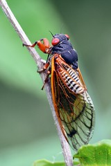 Magicicada species  (Periodical Cicada) (TLHibbitts) Tags: cicada insects magicicada periodicalcicada