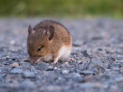 Feldmaus_2 (Oliver Deisenroth) Tags: animal mouse