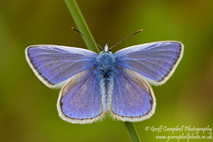 Common Blue (Polyommatus icarus) (gcampbellphoto) Tags: ireland macro nature butterfly insect wildlife wexford commonblue theraven polyommatusicarus curracloe gcampbellphoto