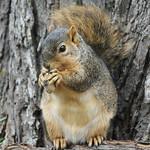 Squirrel at the Spanish Mortar - University of Michigan (July 16. 2014) thumbnail