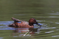 Cinnamon teal (Seventh day photography.ca) Tags: male bird duck spring pond unitedstates teal wildlife wildanimal wyoming jacksonhole 2014 malard cinnamonteal