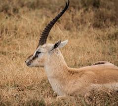 Kenia-Tanzania_Agosto2014_3199_27072014.jpg (rostras) Tags: animal kenia gacela mamfero frica ungulados ngorongorozonadecoservacin