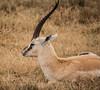 Kenia-Tanzania_Agosto2014_3199_27072014.jpg (rostras) Tags: animal kenia gacela mamífero áfrica ungulados ngorongorozonadecoservación