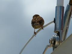 Ocean Sports Charter Sparrow Sue Salisbury Maui Hawaii (Sue Salisbury Maui Hawaii) Tags: ocean vacation usa sun holiday bird hawaii unitedstates maui sparrow perch boating familyholiday suesalisbury suesalisburymaui suesalisburyhawaii