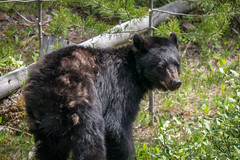 Hello black bear (NettyA) Tags: bear travel canada nature animal landscape wildlife alberta northamerica blackbear banffnationalpark canadianrockies 2014 bowvalley lakelouisevillage sonynex6
