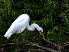 Egret (My Long Lens) Tags: bird pennsylvania waterbird wildwood egret birdwatcher