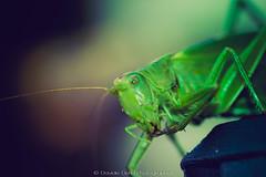 grasshopper lomo.jpg (dadafilm) Tags: wallpaper macro animal closeup vintage insect lomo lomography retro grasshopper tamron clours