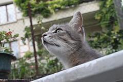 Ghibli 3 (northauk) Tags: love cat grey chat sweet amour neko ghibli bébé