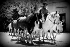 La zaina overa (Eduardo Amorim) Tags: horses horse argentina criollo caballo cheval caballos cavalos pferde herd cavalli cavallo cavalo gauchos pferd pampa hest hevonen chevaux gaucho  hst gacho  campero provinciadebuenosaires  gachos  sanantoniodeareco  areco gregge crioulo troupeau caballoscriollos herde criollos  tropillas  pampaargentina camperos tropilhas tropilla  crioulos cavalocrioulo tropilha caballocriollo campeiros campeiro eduardoamorim cavaloscrioulos pampaargentino