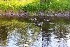 Baby Geese & Geese. (SNAPShots by PJW *Join LNP*) Tags: life camera wild summer horses baby sun ontario canada macro slr chicken nature water beautiful birds animals forest swimming canon river outside photography eos rebel cow geese milk downtown babies quebec farm wildlife exploring ottawa cottage ducks peaceful calm deer heat theif rooster bambi wilderness dairy buck creatures majestic farmanimals squirel nofilter upcloseandpersonal flyingsquirel t3i greatescape quackquack babygeese playingoutside birdsandthebees onewithnature nonedited naturelife cottagelife dairycow livingcreatures iphone5 flickranimals follow4follow like4like forestbuddies