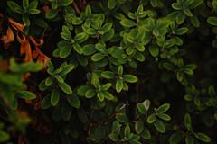 Green leafs (G Jones94) Tags: green nature garden natural leafs