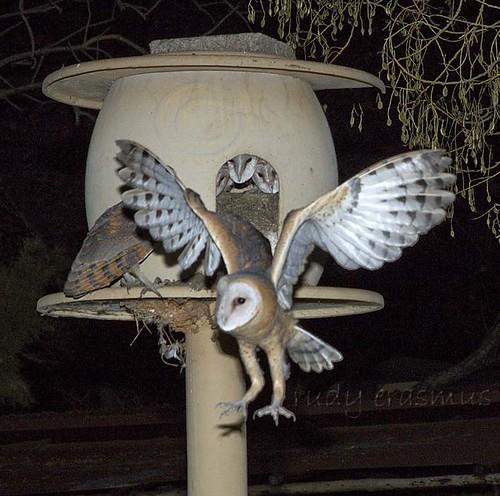 Western Barn Owl at  nest_2961