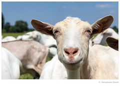 Goats (Den Boma Files) Tags: trees portrait white tree cute green nature floral beautiful beauty grass animal animals fauna fur mammal nose fight flora looking cattle head farm background meadow goat nobody nopeople domestic goats land species horn agriculture dairy ram mouflon