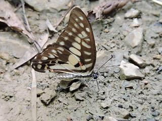 Graphium doson/Common Jay/木兰青凤蝶 (Liuzhou, Guangxi/广西柳州) DSCN0150