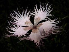 Clavellina deshilachada * Dianthus hyssopifolius (jacilluch) Tags: pink flower macro fleur flor blossoms rosa dianthus silvestre clavellina carnationpink fringedpink dianthusmonspessulanus dianthushyssopifolius claveldepastor tomadael12dejuliode2014 clavellinadeshilachada