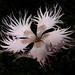 Clavellina deshilachada * Dianthus hyssopifolius