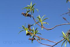 Koromiko. Hebe sp. * (nznatives) Tags: winter urban leaf rotorua seed nz hebe nznative bayofplentynz koromiko koutu hebesp