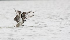 Osprey miss 8_12 (krisinct- Thanks for 12 Million views!) Tags: nikon 150 600 tamron vc d7100