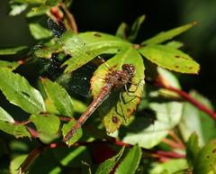 Sonnenbad (♥ ♥ ♥ flickrsprotte♥ ♥ ♥) Tags: natur september kiel botanischergarten libellen