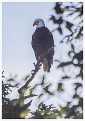Bald Eagle: Inside Passage, Alaska (westen groh photography) Tags: alaska eagle wildlife south bald east juneau inside passage