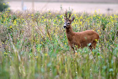 Le grand brocard (Morgane_W) Tags: nikon champs deer buck animaux roe chevreuil faune brocard capreolus mammifres cervids d3100