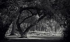 Arborous Archway (JeffStewartPhotos) Tags: trees blackandwhite bw toronto ontario canada blackwhite arch archway toned cherrybeach cherrybeachpark walkingwithdavidw