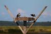 Osprey (Desmojosh) Tags: b canon eos wildlife nj l usm edwin 56 osprey forsythe refuge 400mm 70d