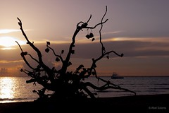 Wish Tree. Cozumel, Mexico_SAM1228 (ElMalva) Tags: sunset sea tree tourism beach beautiful beauty atardecer mar nice great tranquility playa calm cozumel turismo vacations calma vacaciones quietness marcaribe exteriores caribbeansea tranquilidad