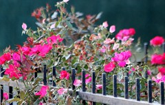 Flowers in Brooklyn (image4us) Tags: pink blue red flower tree green yellow sunrise landscape gold gate iron branch rod
