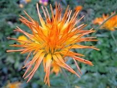 MACRO (cannuccia) Tags: flowers macro nature natura fiori arancione macroflowerlovers excellentsflowers mimamorflowers 100commentgroup flickrflorescloseupmacros flowerarebeautiful thebestofmimamorsgroups