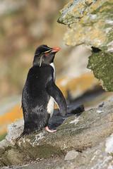 Southern Rockhopper Penguin, Eudyptes chrysocome (Project Penguins) Tags: penguin rockhopper eudyptes chrysocome eudypteschrysocome southernrockhopperpenguin