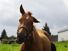 Pferd (ute_hartmann) Tags: rollei weide wiese pferd fliegen