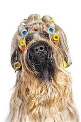 Hair (jjgsmits) Tags: germany fun frisur hund haare briard friseur funportrait hundesalon locken langehaare blondine friseurin lockenwickler hundeportrait hundefriseur blondehaare briardportrait hundefrisur