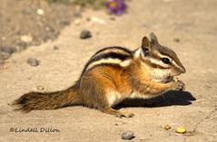 Chipmunk (Lindell Dillon) Tags: rodent colorado raw explore chipmunk tamron hdr pagosasprings groundsquirrel nationalgeographic wolfcreekpass photomatix lindelldillon