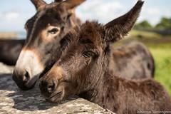 _DSC3905.jpg (jslettengren) Tags: ass animal mammal donkey djur sna dggdjur equusafricanusasinus