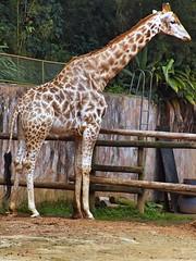 Image18 - Copia (Daniel.N.Jr) Tags: animal selvagem zoologico kodakz990
