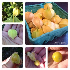 "I have finally harvested over a quart of these husk cherries (ground cherries) from the garden without our family devouring them right away. Now I am going to settle in and find a great recipe to make with them. I can't wait to create something delicious • <a style=""font-size:0.8em;"" href=""http://www.flickr.com/photos/54958436@N05/15227345191/"" target=""_blank"">View on Flickr</a>"