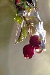 Viorne orbier 2 (spionkop331) Tags: macro eau christophe goutte mouche boyer menthe sauvage orbie viorne proxiphoto spionkop331 spionkop33