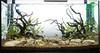aquascaping stuff (pintainho21) Tags: bebados javamoss aquascape tropica tibúrcio neontetra cryptocoryne paracheirodoninnesi glossostigmaelatinoides akadama paracheirodonaxelrodi eleocharisparvula cryptocoryneparva lilaeopsisbrasiliensis hemianthusmicranthemoides hemigrammusrhodostomus cryptocorynewendtiibrown rotalarotundifolia heterantherazosterifolia tetracardinal plantgrowthsubstrate rotalasp'green'