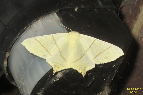 Swallow-tailed moth (gar)